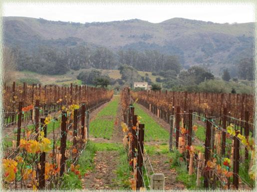Vineyard at Melville Winery