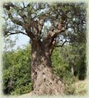 Ardelio Olive Tree