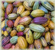 Ripe Cacao Pods