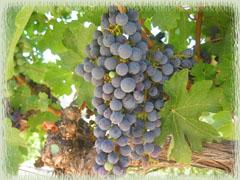Vine Cliff Cabernet Sauvignon Grapes